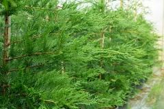 evergreen-trees2-500
