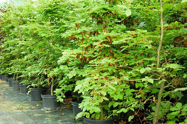 screening-trees-600-3